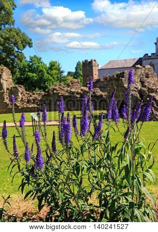A bunch of purple Salvia with a ruined abbey in the background on a bright summers day