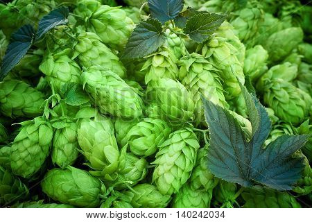hop cones raw material for beer production