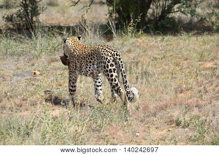 Wild Leopard, Namibia, Africa