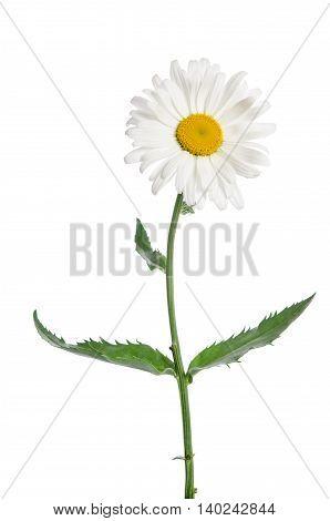 beautiful single chamomile flower on white background