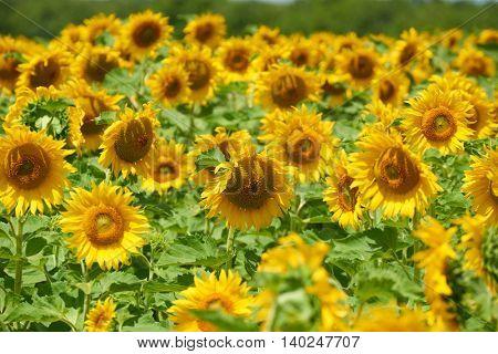 sunflower field, yellow flower closeup, beautiful summer landscape
