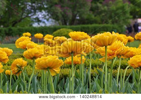 flowerbed in the garden in the spring to dissolve a lot of unusual yellow tulips to please people