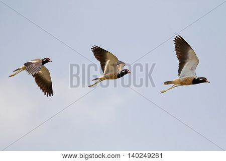 Red-wattled Lapwing in flight, bird with red wattle in front of eye, black-tipped red bill flying against blue sky in Thailand