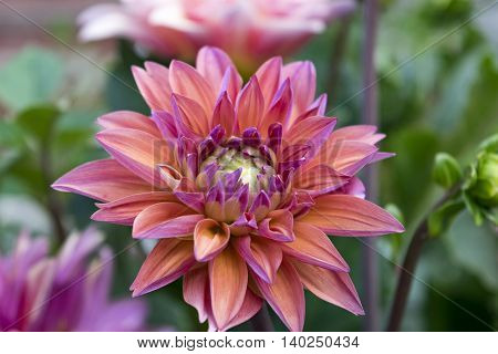 Peach and violet colored dahlia in the summer.