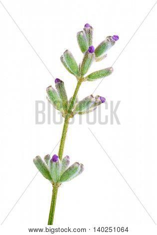 Lavender flower on light background