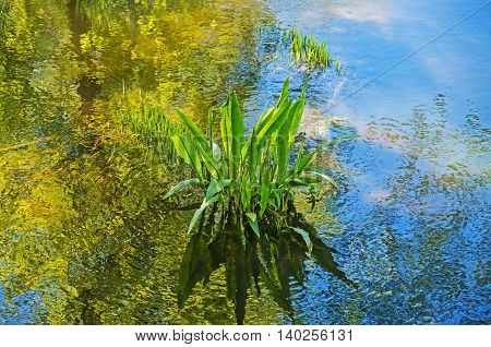 Green algae in the river swamps of sunny spring morning