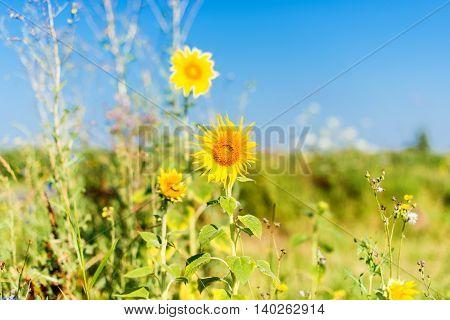 wildflowers in a meadow in summer  sun, daisy