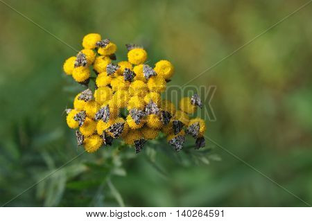 Tansy With Butterflies