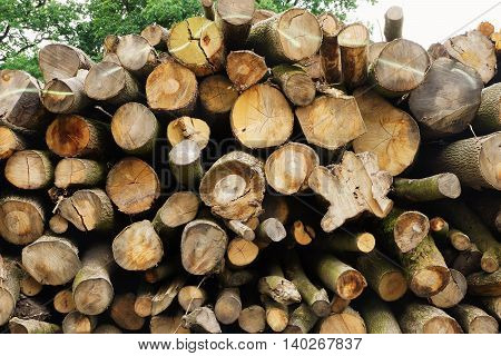 Large tree trunks in a forest in summer