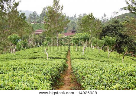 tea-plantations path in the Sri Lanka highlands