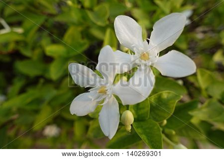 close-up Gardenia flower fresh in morning thai