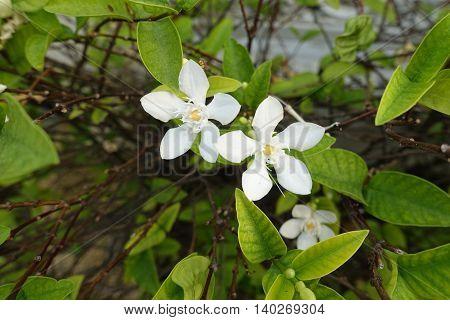 Gardenia flower on the tree morning thai