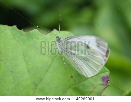 Cabbage butterfly on green leaf symbol of eco