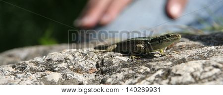 Lizard on the stone with man on background