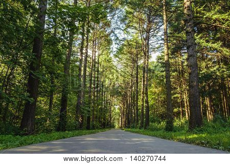 Bright green pine tree forest with walkway asphal road in sunny day light