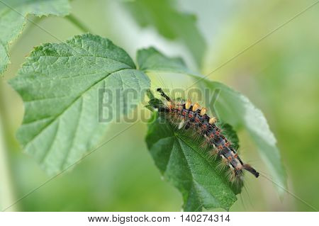 Caterpillar Of Orgyia Antiqua
