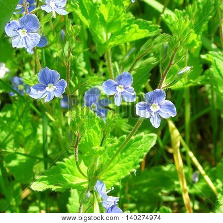 Small blue flowers in the green grass close up