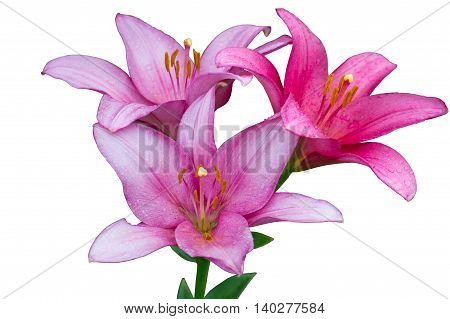 Three fresh pink lilies with drops of water isolated on the white background