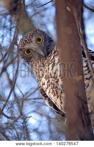 Australian Powerful Owl (Ninox strenua) perched in a tree in Sydney, Australia