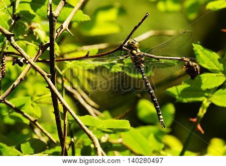Large king dragonfly in a climbing rose