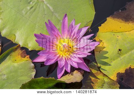 Purple Lotus Colorful blooming water lily with bee is trying to keep nectar pollen