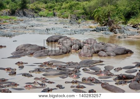 herd of Hippopotamus wallowing in river mud