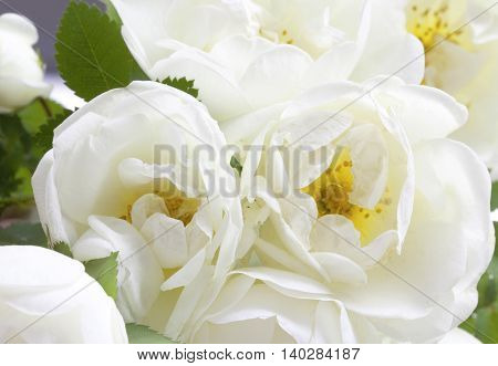 Blossom Branch With Flowers Of White Briar, Dog-rose Isolated On A White
