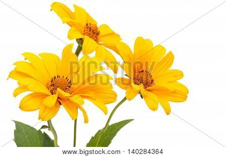 Set Of 3 Orange Osteospermum Daisy Or Cape Daisy Flowers. Isolated Over White Background. Close-up.