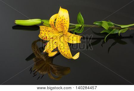 Beautiful Yellow Tiger Lily With Mirroring Over Black Background.