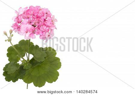 Flower Of Geranium Pelargonium, Close-up And An Empty Place For Your Text. Isolated On A White Backg