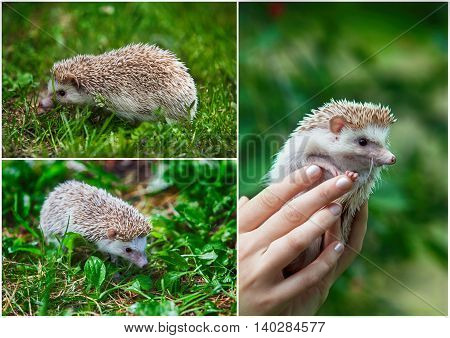 Set. Prickly hedgehog in the green grass. close-up