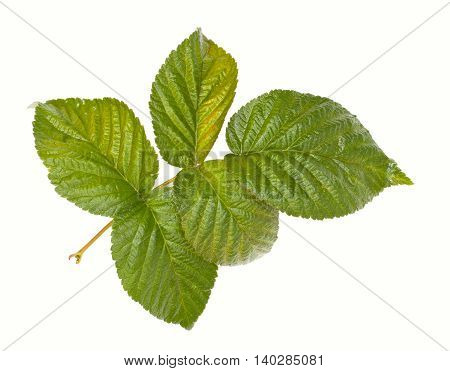 Green Raspberry Leaves, Branch. Isolated On A White Background, Close-up.