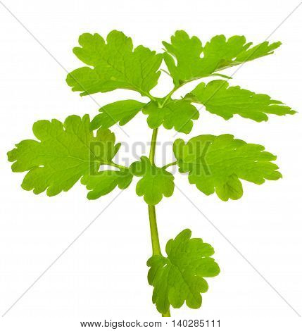 Green Branch With Leaves, Isolated On White Background. Close-up.