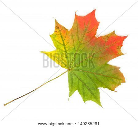 Colorful Autumn Maple Leaf, Isolated On White Background, Close-up, Top View.