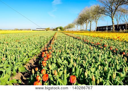 Budding and bright flowering tulip bulbs in various stages of bloom in endless rows on the field of a specialized Dutch grower.