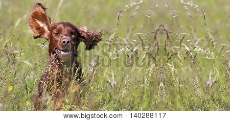 Website banner of a happy smiling Irish Setter puppy dog