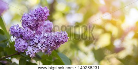 Website banner of beautiful Easter lilac flower in Spring