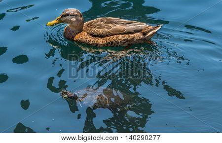 Swim team swimming female mallard and red-eared turtle