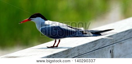 A turn sits on the railing of a deck. Black head and red beaked bird.