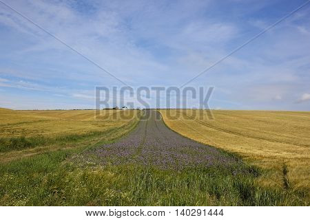 Farmland With Phacelia