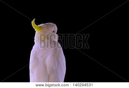 Yellow-crested Cockatoo (Cacatua sulphurea) with black background