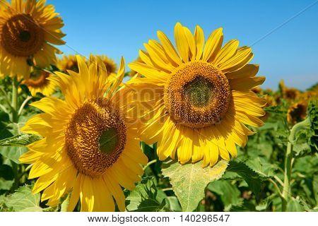 sunflower field beautiful summer landscape