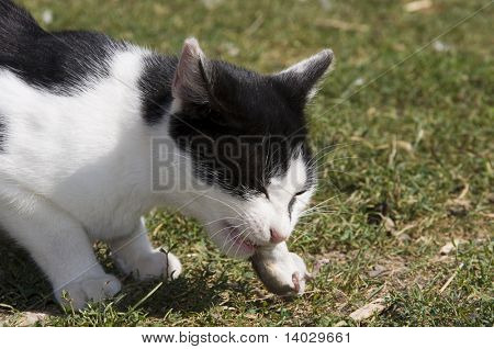cat eating the mouse