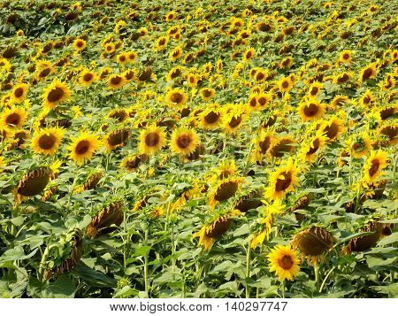Many sunflower plants on field during summer