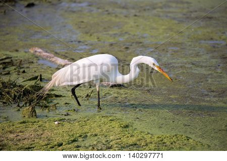 Great White Heron (Ardea alba) in mossy water wetlands