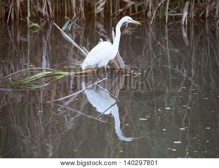 Great White Heron (Ardea alba) in wetlands