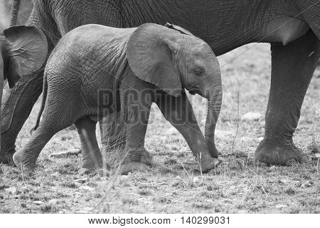 Breeding herd of elephant walking and eating on short brown grass