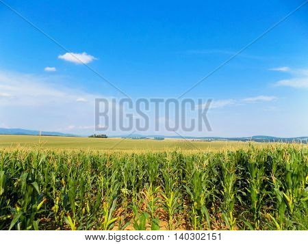 Many corn crops on field and blue sky during day