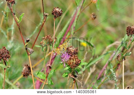 Small Skipper - a butterfly belonging to the family Hesperiidae, which, although they belong to a group of butterflies (Rhopalocera). Meadow grass during drought. Wither clover.