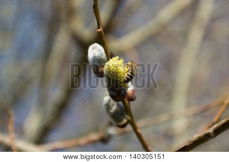 Bee collects pollen on catkins - depth-of-field